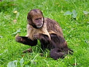 Golden-bellied capuchin