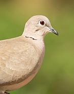 Collared Dove Portrait