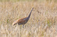 Sandhill Crane in a Barley Field