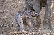 Elephant Newborn Calf with Mother
