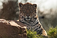 Young Jaguar Beside Rock, Mainly Head Shot