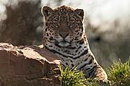 Young Jaguar Beside Rock, Mainly Head Shot