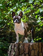 Brindle French bulldog posing for an outdoor portrait