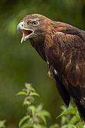 Golden Eagle - Highlands of Scotland