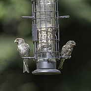 Redpoll Mother & Fledgling at the Feeder