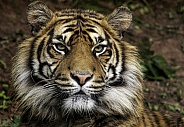 Sumatran Tiger Close Up Of Only Face