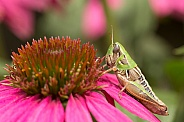 Grasshopper on echinacea.