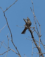 Female Northern Phainopepla