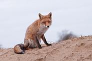Red Fox (vulpesvulpes)