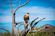 Caracara on Branch