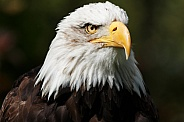 Bald Eagle, Close Up