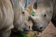 Two Rhinos Close Up