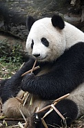 Giant Panda - Chengdu - China.