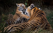 Amur tiger and cub