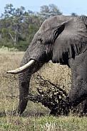African Elephant - Botswana