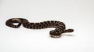 Arizona Black Rattlesnake