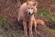 Arctic Wolf Sitting Upright