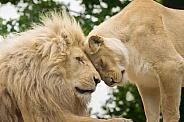Partnership. White Lions