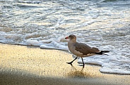 Seagull Strolling Shoreline at Sunset