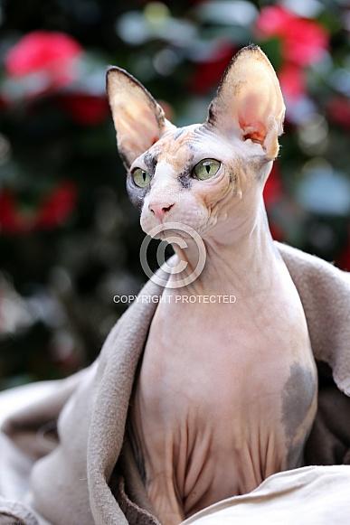 Sphynx (Felis catus)