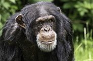 Chimpanzee Face Shot Close Up