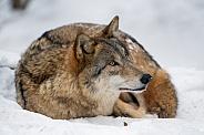 Grey Wolf, snow