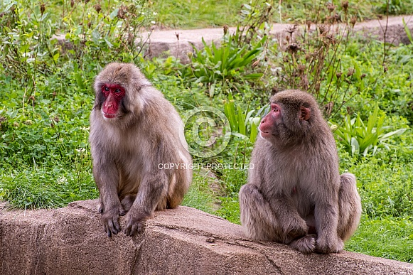 Japanese Macaque Pair