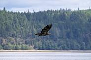 Juvenile bald eagle flying over the bay
