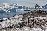 Gentoo Penguin colony - Cuverville Island - Antarctica