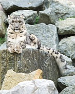Snow Leopards on Rocks