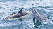Common Bottlenose Dolphin (wild)