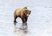 Large brown bear at low tide in the mud