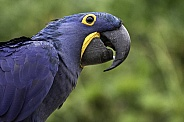 Hyacinth Macaw Side Profile