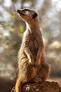 Male Meerkat (Suricata suricatta)