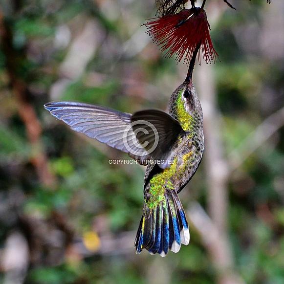 Hummingbird - Broad-billed in Flight