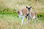 White tailed-deer - Mother and Fawn