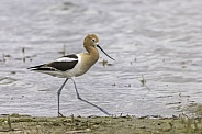 American Avocet on the beach searching for food