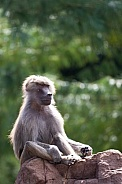 hamadryas baboon sitting on a rock