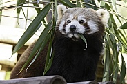 Red Panda Full Body Eating