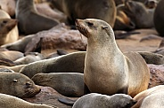 Cape Fur Seal - Cape Cross in Namibia