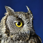 Owl - Western Screech Owl