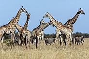 Giraffe - Botswana - Africa