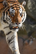 Male Amur Tiger
