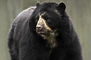 Andean Bear Close Up