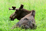 Bull Moose with velvet on his growing antlers