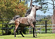 Arabian Colt Stepping