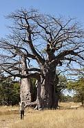 African Baobab - Caprivi Strip - Namibia