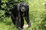 Chimpanzee Full Body Shot Walking