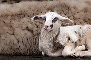Lamb in the Netherlands
