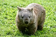 Bare-nosed/Common wombat